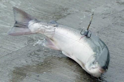 snagged salmon